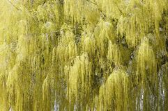 Weeping willow in spring background. Close up of a weeping willow tree with its drooping branches in spring stock photos