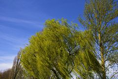 Weeping willow in spring Royalty Free Stock Photo