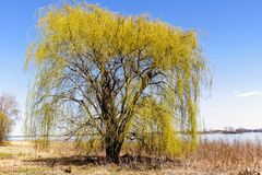 Weeping willow at Spring on Lebel Island. Lebel Island is managed for families promenade at Repentigny near Montreal. Many old trees can be seen during your walk stock photo