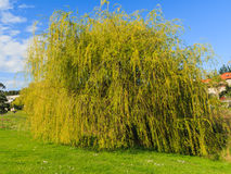 Weeping willow in the spring Stock Image
