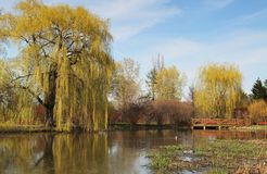 Weeping willow. Spring time with a pound with reflection of weeping willow stock image