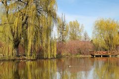 Weeping willow. Spring time with a pound with reflection of weeping willow royalty free stock image