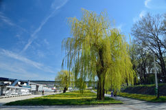 Weeping willow. In spring time on the Sava river bank in Belgrade, in spring time Royalty Free Stock Photography