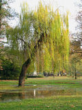 Weeping willow. Standing over small puddle in a park Royalty Free Stock Images