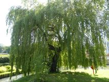 Weeping Willow with the sun on it. Weeping Willow on a warm summer day, taking in all the carbon stock photo
