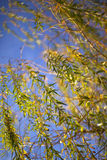 Weeping willow. Sunlight reflection in a weeping willow stock image