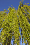 Weeping willow tree. View from bottom up to a weeping willow tree Stock Images