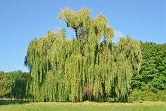 Weeping willow tree. Green weeping willow tree in the public park stock image