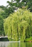 Weeping willow tree. In the public park stock photo