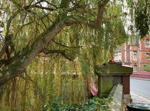 Weeping Willow Tree Stock Photos