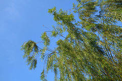 Weeping willow tree. Against the blue sky stock image