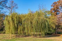 Weeping willow tree or Babylon willow Salix Babylonica in a park.  royalty free stock photo