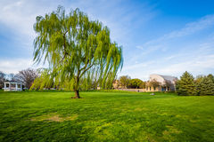 Weeping willow tree at Baker Park, in Frederick, Maryland. royalty free stock image