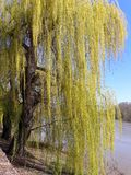 Weeping Willow tree on the bank of Mures river - Arad, Romania. Weeping Willow tree on the bank of Mures river, in a sunny spring day - Arad city - Romania stock photos
