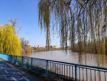 Weeping Willow tree on the bank of Mures river  and a bicycle trail - Arad, Romania. Weeping Willow tree on the bank of Mures river royalty free stock images