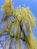 Weeping Willow tree. On the bank of Mures river, in a sunny spring day and a bicycle trail- Arad city - Romania stock photos
