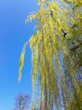 Weeping Willow tree. On the bank of Mures river, in a sunny spring day and a bicycle trail- Arad city - Romania stock photo