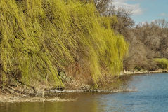 Weeping willow tree on the bank of a river Stock Photo