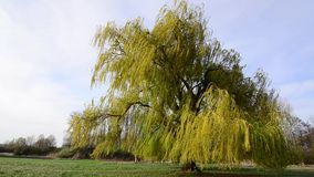 Weeping willow tree blowing wind. Weeping willow tree blowing in the windn stock video footage