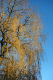 Weeping Willow. Tree and blue sky Royalty Free Stock Image