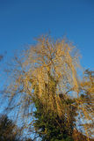 Weeping Willow. Tree and blue sky Stock Images