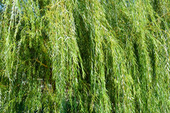 Weeping willow tree branches Stock Image