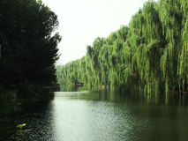 Weeping willow Stock Photos