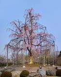 Weeping willow tree and cherry tree in bloom of Toji a kyoto temple in Japan. stock photography