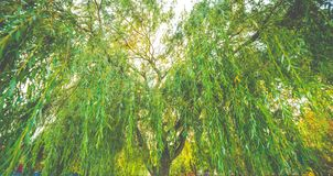 Weeping willow tree closeup. Green foliage of a weeping willow tree in Lithuania royalty free stock photos
