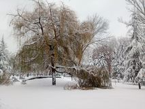 Weeping willow tree covered with snow. On a cold day stock photos