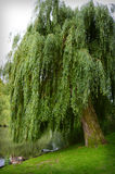 Weeping willow tree. Tree weeping willow with ducks stock images