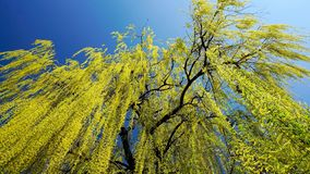 Weeping willow tree in early spring. On a blue sky backgroud stock images