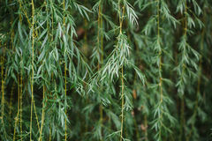 Weeping Willow Tree Fronds Stock Photo