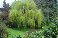 Weeping Willow Tree. A graceful weeping willow tree in Washington Park, Portland, Oregon stock photography