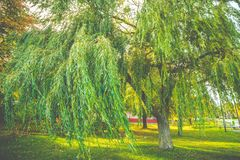 Weeping willow tree. Green foliage of a weeping willow tree stock image