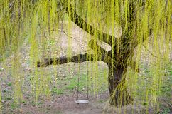 Weeping Willow Tree. Green Weeping Willow Tree in the Spring stock photo