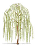 Weeping Willow tree. An illustration of a Weeping Willow tree Royalty Free Stock Photo