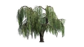Weeping willow tree - isolated on white background royalty free stock image