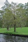 Weeping Willow Tree. By itself royalty free stock photography