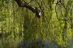Weeping willow tree beside a lake. Stock Photo