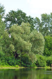 Weeping willow tree and lake. Weeping willow tree over lake in park Royalty Free Stock Photos