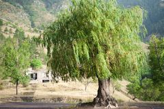 Weeping willow tree. In mountains in Georgia royalty free stock images