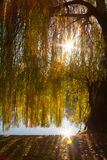 A weeping willow tree near a lake and its branches filtering nice worm sun rays. Sun reflected in the water.  stock image