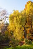 A weeping willow tree near a lake and its branches touched by ni. Ce worm sun rays. Raw green grass in the foreground stock images