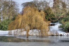 Frozen park lake - weeping willow tree. A weeping willow tree near a part-frozen lake in a park. This is in Temple Newsam park, Leeds, England stock image