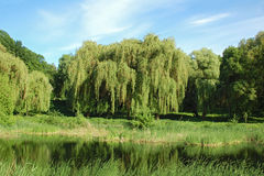 Weeping willow tree over lake Stock Images