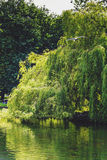 Weeping willow tree over the lake at St Stephen`s Green Park in Royalty Free Stock Image