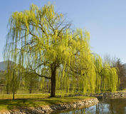 Weeping Willow tree in the park. Weeping Willow comes into leaf in the Spring royalty free stock images