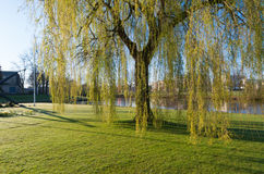 Weeping willow. Tree in a park Stock Photo