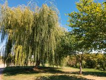 Weeping willow tree Stock Images